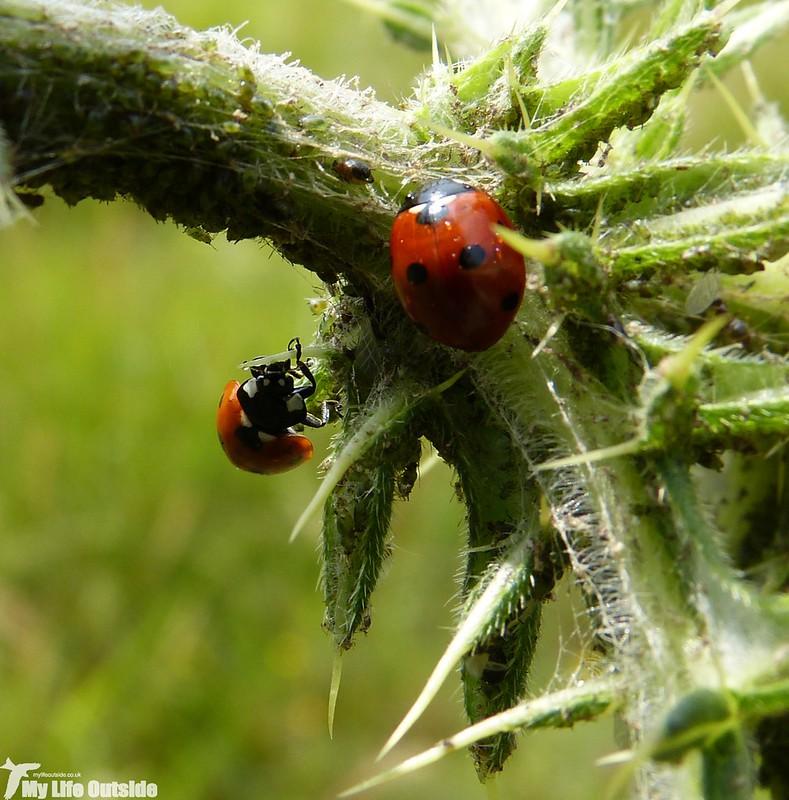 P1140223 - 7-spot Ladybird