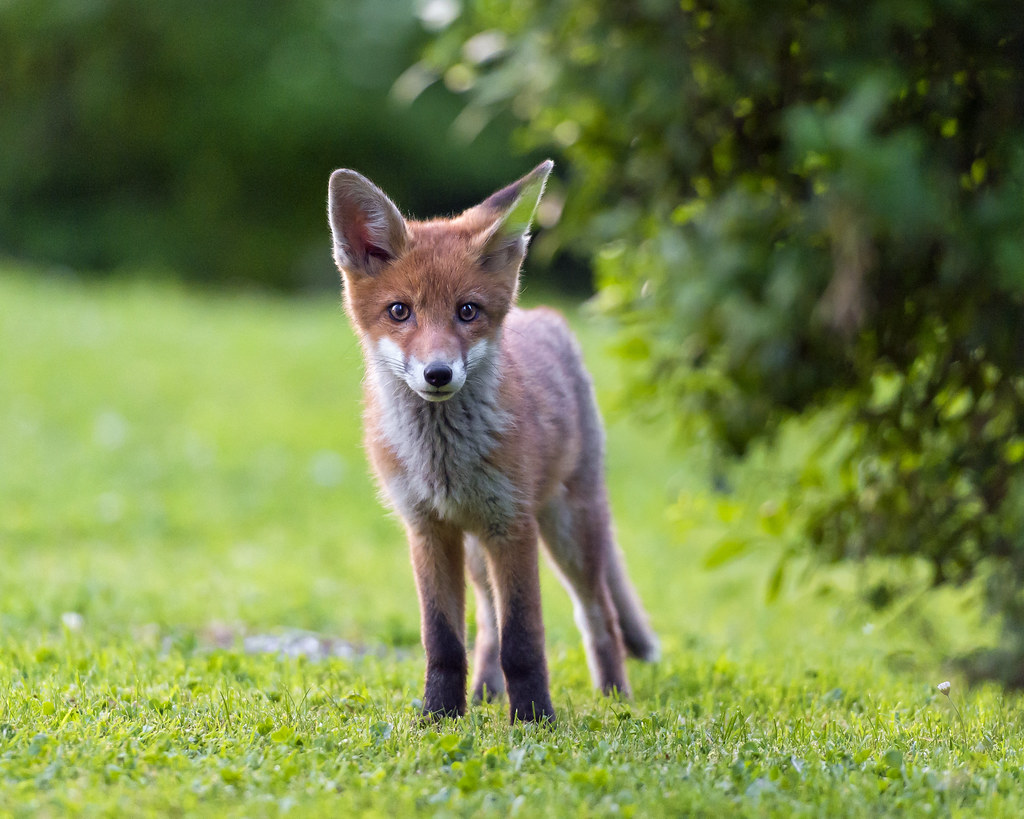 Attentive young fox