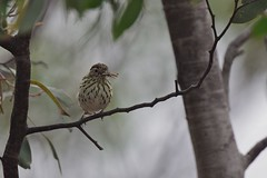 Speckled   Warbler ( another big catch )