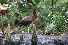 brauner Ibis