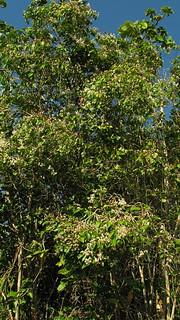 Marlierea neuwiedeana (O. Berg) Nied.