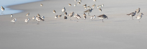 Shorebirds-3.jpg