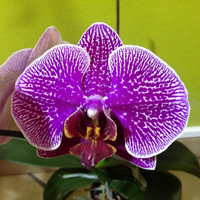 Floraison des orchidées de juin à........... 21389918876_1dce37ed5f_z