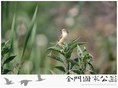 褐頭鷦鶯-01