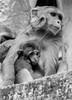 Mamá y bebé macacos by Andrés Guerrero