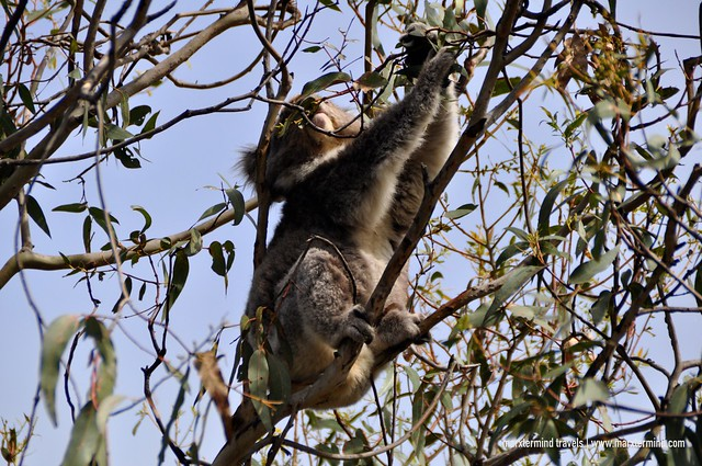Koala at Point Hawdon Kennet River