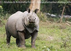 Great Indian rhino Rhinoceros unicornis