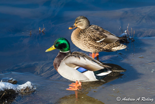 mallard duck pair on edge of ice shelf