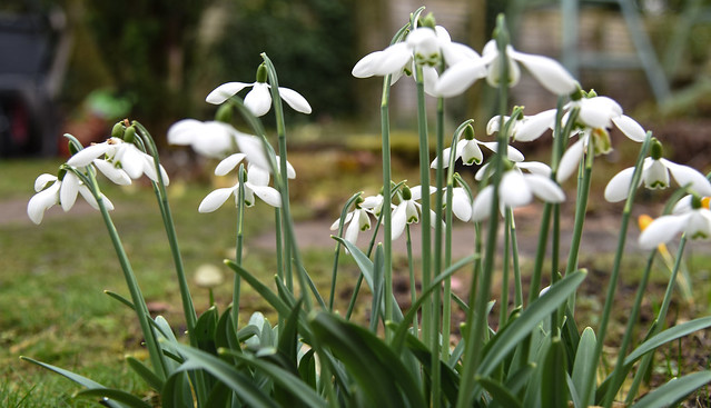 Snowdrops, Old Church Cottage