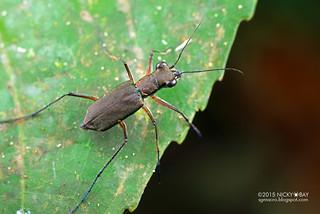 Tiger beetle (Cicindelinae) - DSC_1919