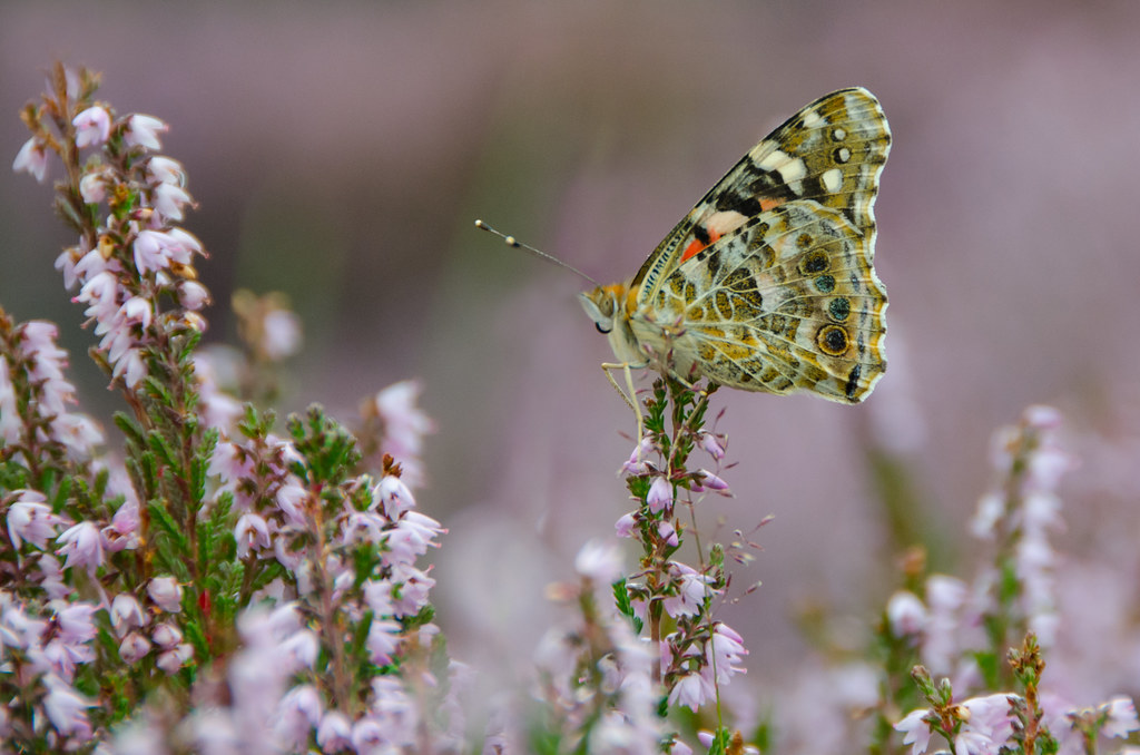 Painted Lady in the heather