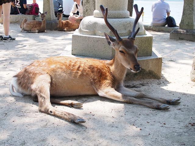 casual deer