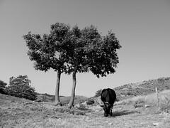 Campo Ligure_002_Pavaglione_Mucca_08-15_B-N