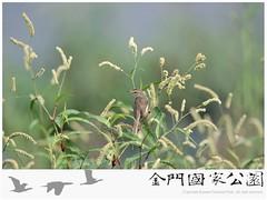 褐頭鷦鶯-03