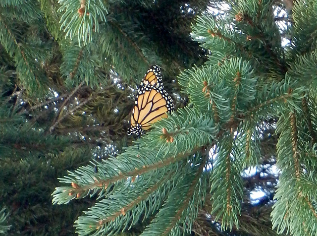 monarch resting in a pine tree