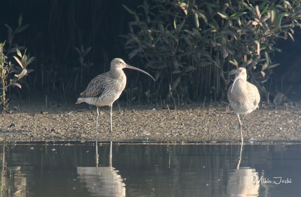 Eurasian Curlew [Zarapito Real]
