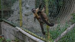 Paramaribo Zoo monkeys