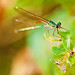 Small photo of American rubyspot