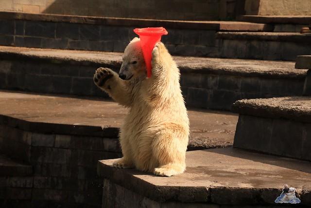 Eisbär Fiete im Zoo Rostock 06.09.2015  0147