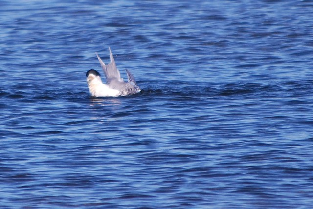 Crested tern Bathing