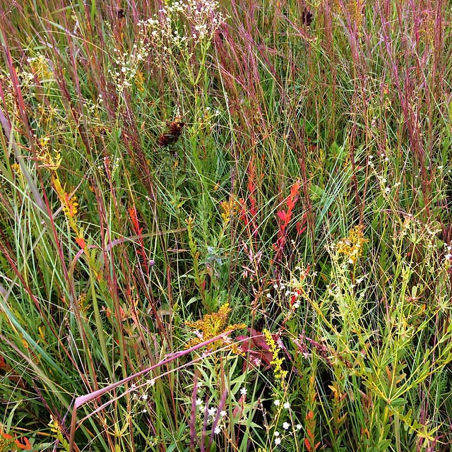 This might be a bunch of invasive, non native plants, but I thought it was pretty. Just got back from #nachusa #tallgrassprairie