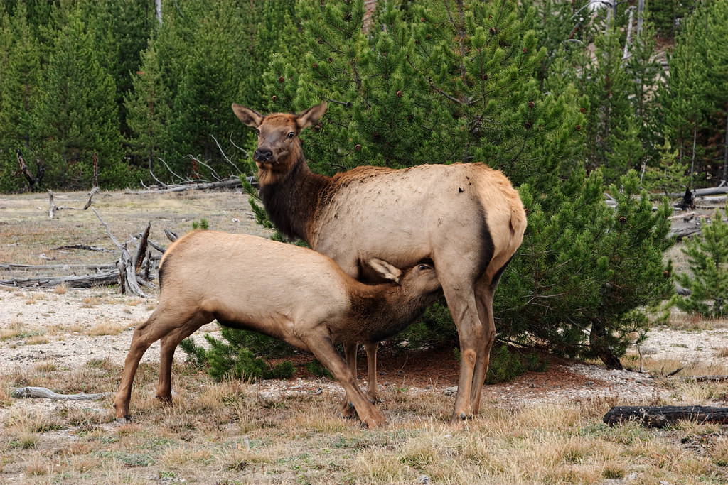 An elk cow nurses her calf