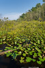 Marsh Lily Pads