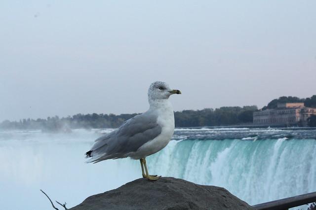 Smug Seagulls at Niagara Falls