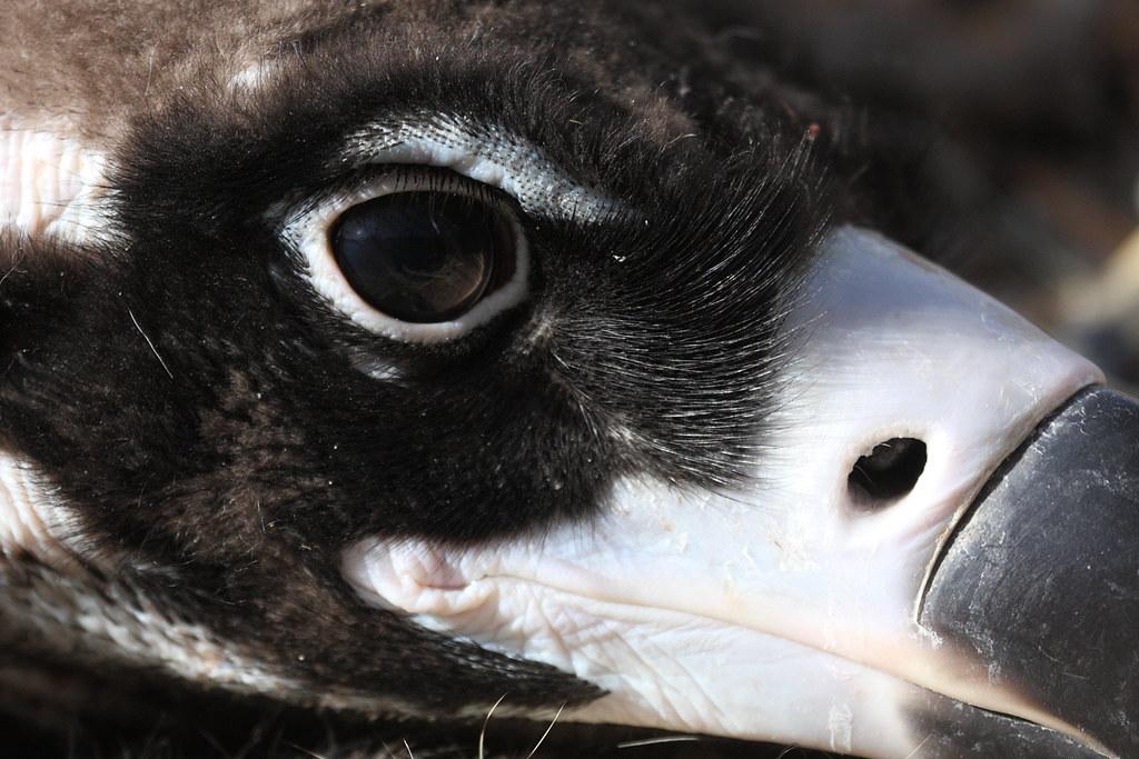 Vulture's eye