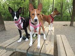 dog sports, animal, dog, pet, mammal, ibizan hound, basenji,