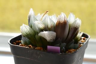 DSC_0694 交配種 Haworthia venusta x Haworthia obtusa(大窓)