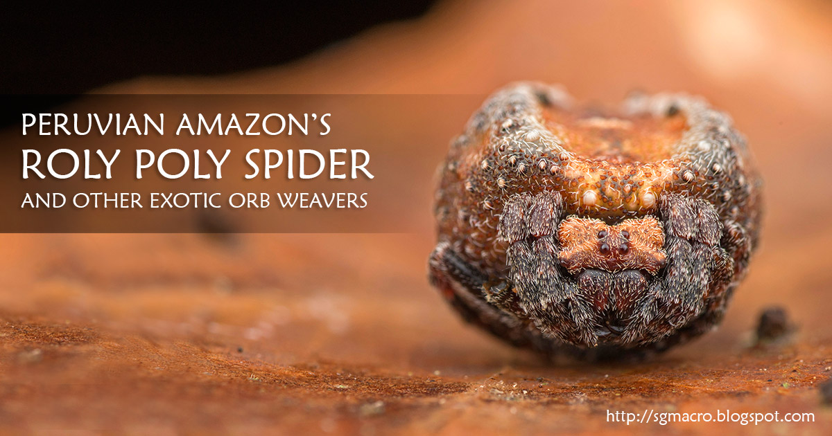 Peruvian Amazon's Roly Poly Spider and Other Exotic Orb Weavers