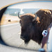 American Bison by tylerareber