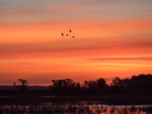 crexmeadows em1 gear gruscanadensis nature olympus olympus4015028 places sandhillcrane sunrise wildlife wisconsin