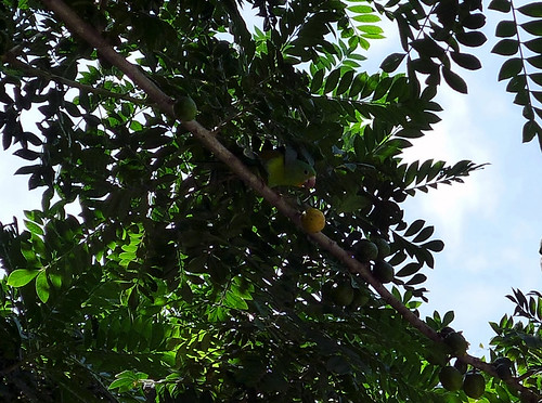 Colorful bird eating fruits - Costa Rica