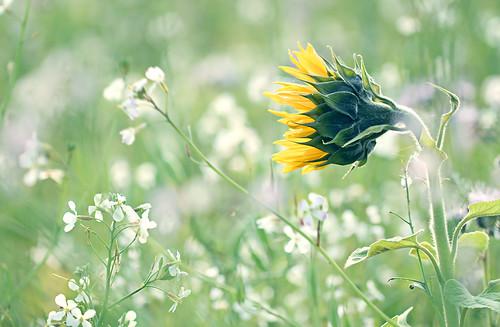 Wenn der Raps schon nicht gelb ist, pflanzt man eben Sonnenblumen dazu.