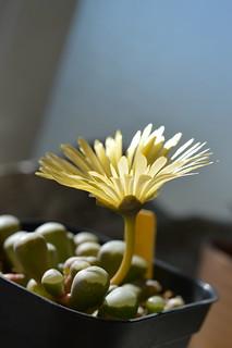 DSC_1669 Fenestraria aurantiaca   フェネストラリア 五十鈴玉