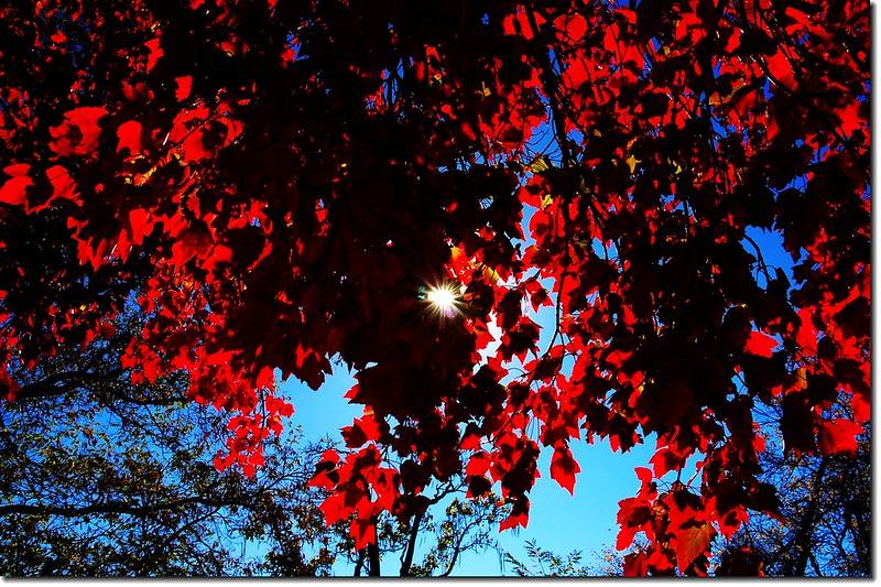 Red maple leaves 9