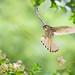 ~ Flying of Common Kestrel  ~ by Fu-yi