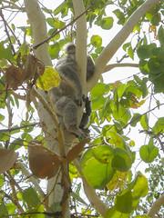 Koala Bär bear Australien