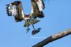Threatening Osprey
