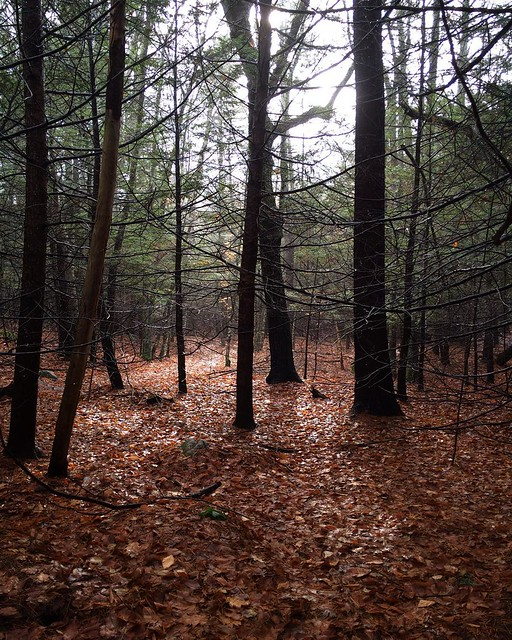 A walk in the woods this morning. I think it must have gone up 5 degrees C while we were out, really strange! It's up to 20 today 😳#acton #xmasinacton #christmas #massachusetts #unitedstates