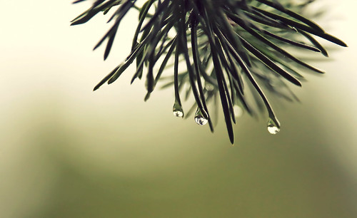 montreal nature autumn plant tree pine spruce wet rain fall drops water life canon eos rebel dsrl composition t5i 700d 250mm light depthoffield dof green needles reflection mirror weather country sunset abstract macro garden akigabo