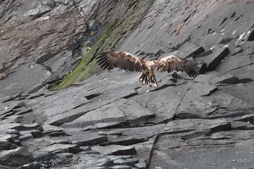 Eagle / ワシ