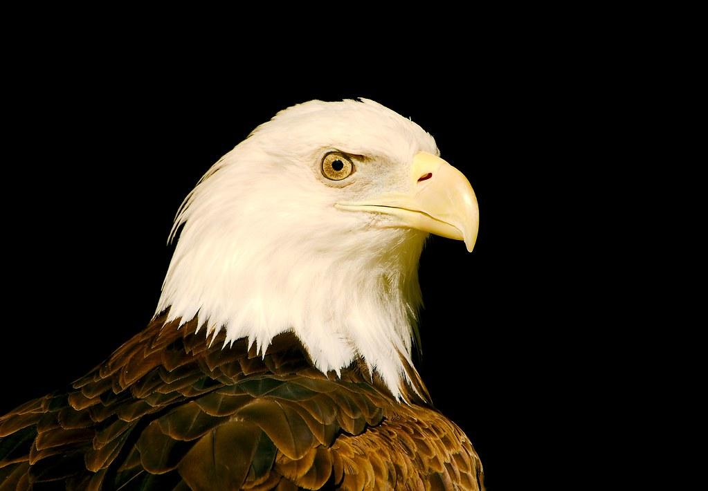 Bald Eagle_14