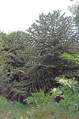 Araucariaceae
