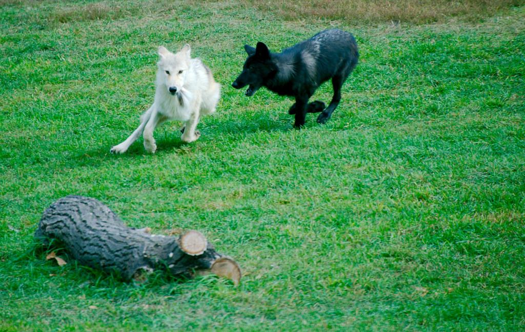 Wolf_11