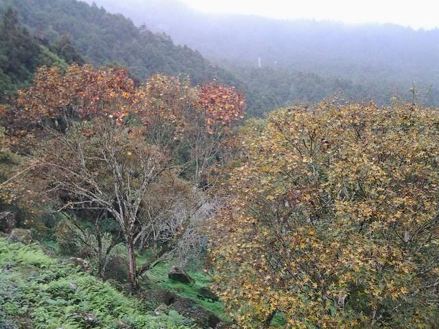溪頭的楓葉65