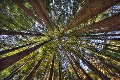 _WCB4780-6 Nisene Marks S.P Redwood- Sequoia sempervirens
