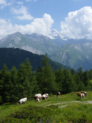 Idilli kép: Grossglockner és tehenek